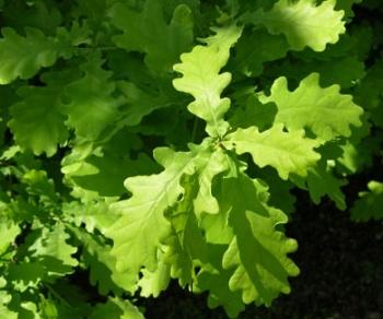 Quercusrobu