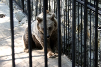 Медведь в клетке