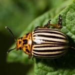 Избавимся от колорадского жука без химии!