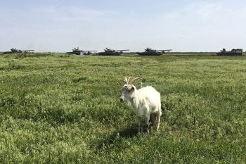 A goat walks in a field during military exercises at the Russian military training ground 'Kuzminsky' near the Russian-Ukrainian border in the Rostov