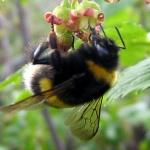 Что делать, если укусили шмель, шершень, оса или пчела?