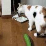 Ветеринары попросили не пугать котов огурцами ради смешных видео