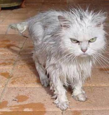funny-cat-after-bath