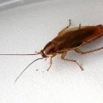 Ученые рассказали о пользе тараканов