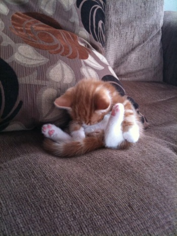 the-cat-situp-sleeping-position-1