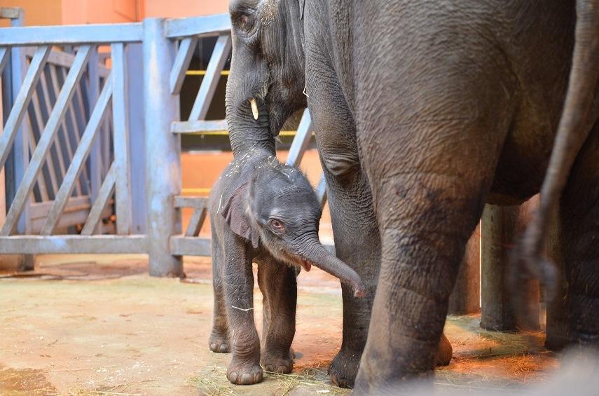 Слоненок весом 130кг появился насвет вРостовском зоопарке