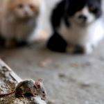 """""""Зомби-паразит"""" кошек может вызывать рак и болезни мозга у человека"""
