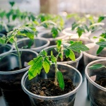 Как вырастить дома здоровую рассаду томатов: полезные советы